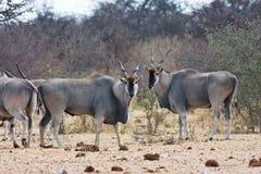 Eland, Taurotragus oryx, at the waterhole Bwabwata, Namibia Royalty Free Stock Photography
