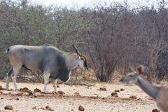 Eland, Taurotragus oryx, at the waterhole Bwabwata, Namibia Stock Images
