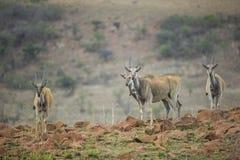 Eland w Południowa Afryka obraz royalty free