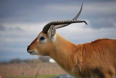 Eland w safari parku Zdjęcia Stock