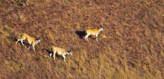 Eland walking across mountain grassland Stock Image