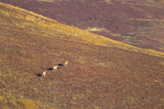 Eland walking across mountain grassland. Three Eland (Taurotragus oryx) walking across mountain grassland landscape, South Africa Stock Photos