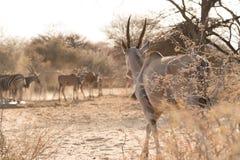 Eland walking to waterhole. Eland group (Taurotragus oryx) of adults and calves at waterhole, Namibia stock images