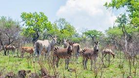 Eland, Zebra and Hartebeest stock photo