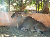 Eland Zoo Dream village, Morocco. Eland sitting Zoo Dream village, Morocco Royalty Free Stock Photos