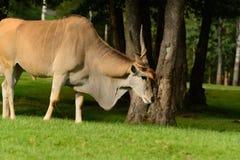 Elandantilop/vanligt eland (Taurotragusoryxantilopet) Arkivfoto