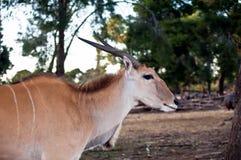 Elandantilope Antilope. Royalty-vrije Stock Afbeelding