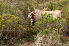 Elandantilope - de grootste antilope in Afrika Stock Fotografie