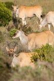 Elandantilope - de grootste antilope in Afrika Royalty-vrije Stock Afbeelding