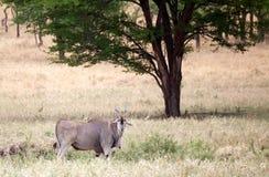 Elandantilope (Tragelaphus oryx) Royalty-vrije Stock Fotografie