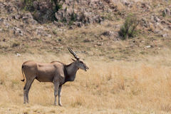 Elandantilope & x28; Tragelaphus oryx& x29; stock foto's
