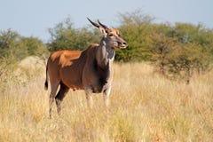 Elandantilopeantilope Royalty-vrije Stock Afbeelding