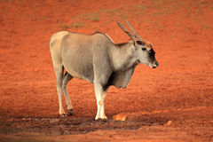 Elandantilopeantilope Stock Foto