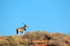 Elandantilopeantilope, Kalahari Royalty-vrije Stock Foto's