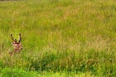 elanden stock foto