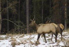 Elanden in Banff Nationaal Park, Alberta Royalty-vrije Stock Fotografie