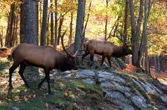 Elanden in de herfst stock foto's