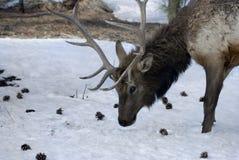 Elanden in de Sneeuw Royalty-vrije Stock Afbeelding