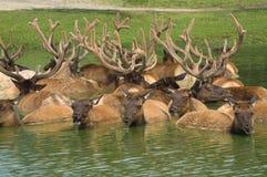 Elanden in de vijver Royalty-vrije Stock Foto