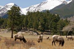 Elanden die in bergen weiden Royalty-vrije Stock Afbeelding