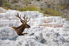 Elanden die bij de Mammoet Hete Lentes, het Nationale Park van Yellowstone rusten stock foto's
