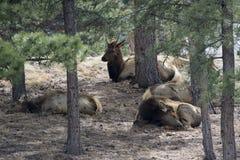 Elanden die in bosje van bomen rusten Stock Foto's