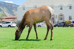 Elanden die in Mammoet, Wyoming weiden royalty-vrije stock foto
