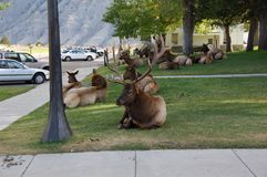 Elanden die uit op het Centrum van Bezoekers hangen Stock Foto's