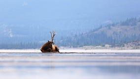 Elanden, Jasper National Park Stock Afbeeldingen
