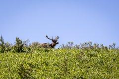 Elanden in Nationaal Park Yellowstone Royalty-vrije Stock Afbeelding