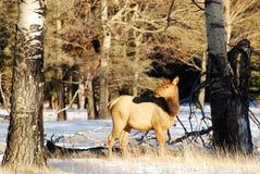 Elanden op de sneeuw Stock Foto's