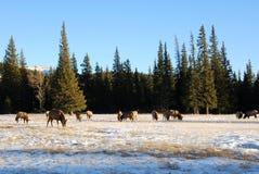 Elanden op de sneeuw Royalty-vrije Stock Foto's