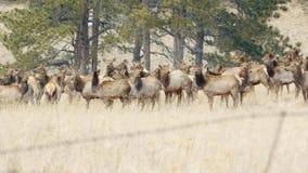 Elanden op het Platteland stock foto