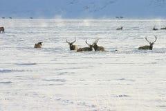 Elanden in Sneeuw Stock Fotografie