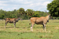 Elands on field Royalty Free Stock Photography