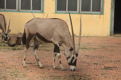 Elands. Live in Africa and South Africa eland, the largest of all antelope species. Because of its enormous stature, turned a little rotation, so called spin Royalty Free Stock Photography