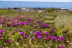 Elands Sourfig (Carpobrotus acinaciformis) succulent perennial of the family Aizoaceae in Sicily, Italy Stock Photography