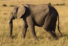 Elaphant africano Immagine Stock Libera da Diritti