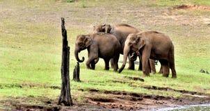 Elaphant-Gruppe in einem grünen Wald lizenzfreie stockfotos