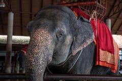 Elaphant per la guida turistica, Ayutthaya Immagini Stock Libere da Diritti