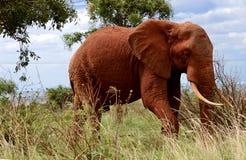 Elaphant w maasaimara Obraz Royalty Free