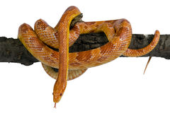 Elaphe guttata,Corn snake. Stock Photography