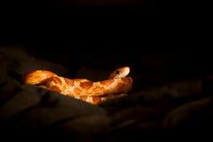 Elaphe guttata (corn snake) Royalty Free Stock Image