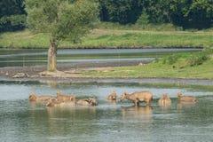 Elaphure fêmea na água Fotos de Stock Royalty Free