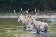 Elaphure maschio in acqua Fotografia Stock