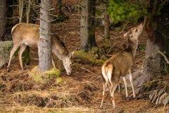 Elaphus Cervus красных оленей есть расшиву и траву в лесе Glencoe Стоковое Изображение RF