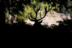 Elaphus cervus рогача красных оленей принимая суфлера во время сезона колейности Стоковые Изображения RF