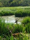 Elaphus de cervus de Ciervos, pays de basque de Salburua Photos libres de droits