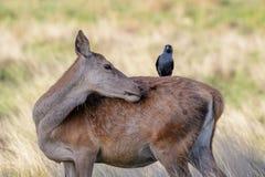 Elaphus de derrière femelle de Cervus de cerfs communs rouges de toilettage avec le choucas Photographie stock libre de droits