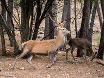 Elaphus del Cervus de los ciervos de Reed que corre en el bosque Fotos de archivo libres de regalías
